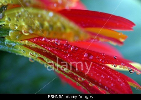 Close up of Red Gerbera with water drops stockphoto at Alamy by john rocha