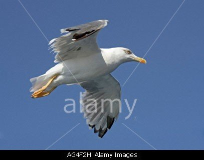 Seagull Flying Over The Aegean Sea Near Kavala In Northern Greece. Stockphoto by John Rocha