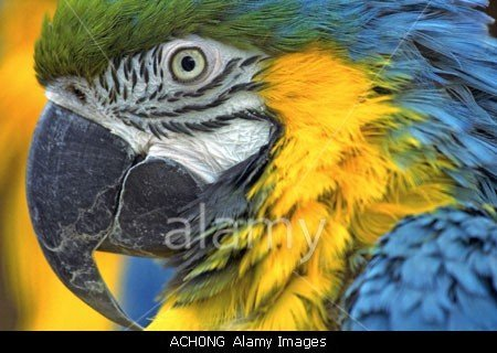 Blue And Yellow Macaw (Ara  Ararauna) Close Up stock photo by John Rocha