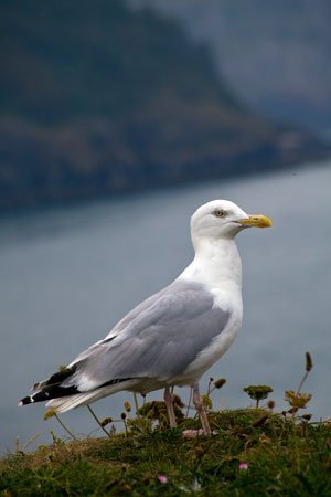 IMG_3501_Torbay_Seagull stockphoto by John Rocha at johnrochaphoto.net