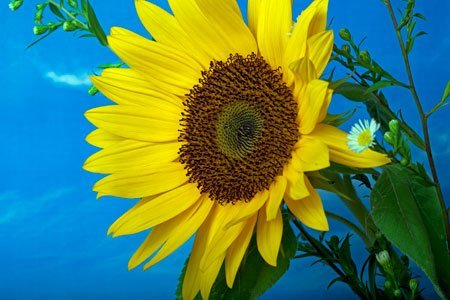 IMG_6731 sunflower by john rocha at johnrochaphoto.net