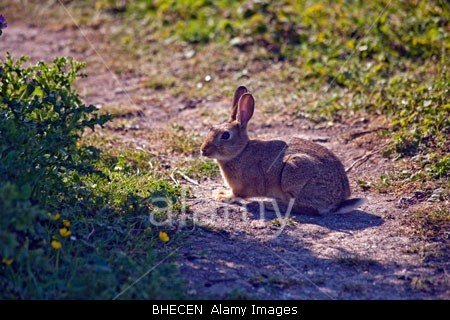 A rabbit on a path in Dover, kent in England stockphoto by johnrocha at johnrochaphoto.net