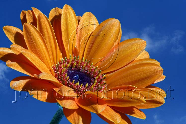 Close Up of a Gerberer Flower in the Sky Photo by John Rocha at johnrochaphoto.net
