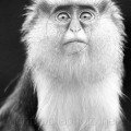Barbary Ape the beauty of black and white