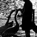 Swan Man of Torquay the beauty of black and white
