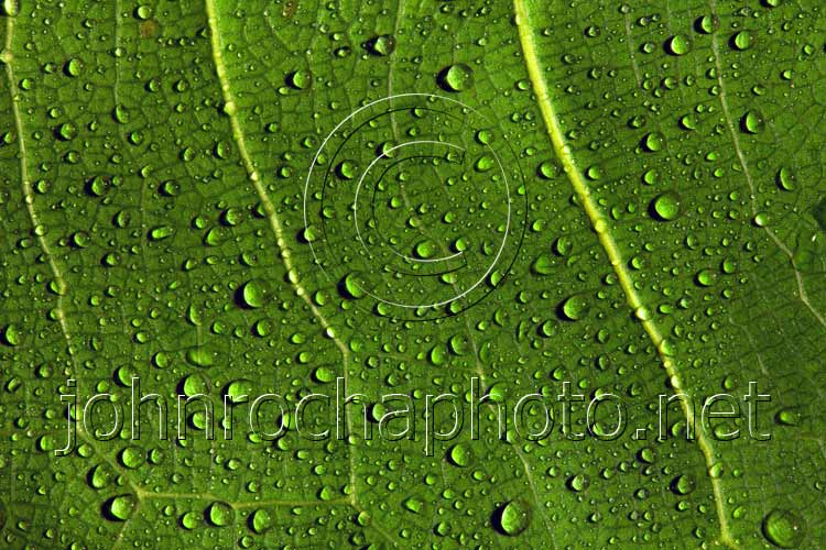 Green Leaf Macro Detail with Water Drops