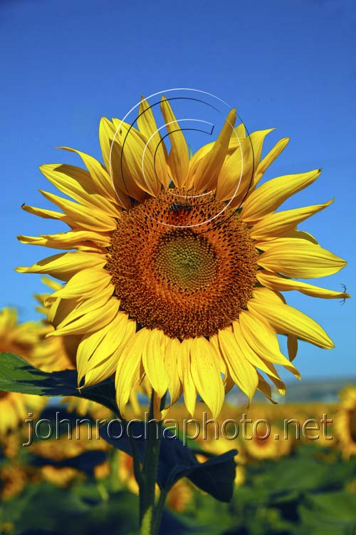Golden Summer Sunflowers with Insects