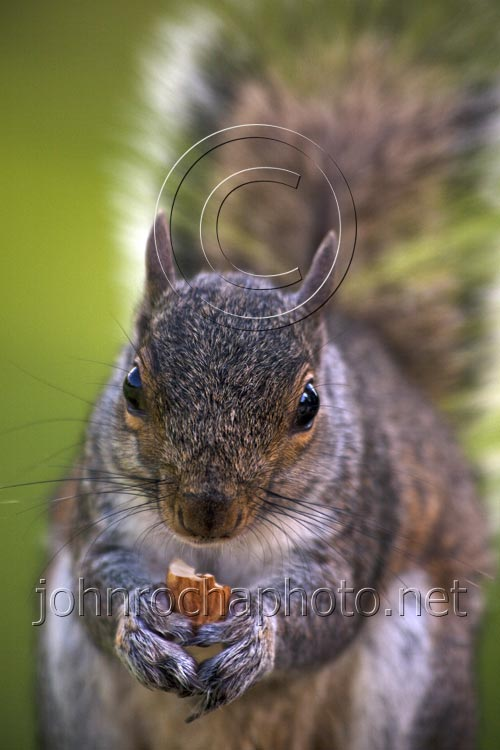 Bushy Tailed Squirrel Niblling a Nut in the Park