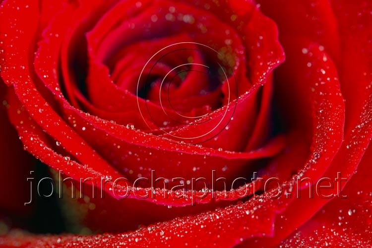 Red Rose Close Up With Water Drops