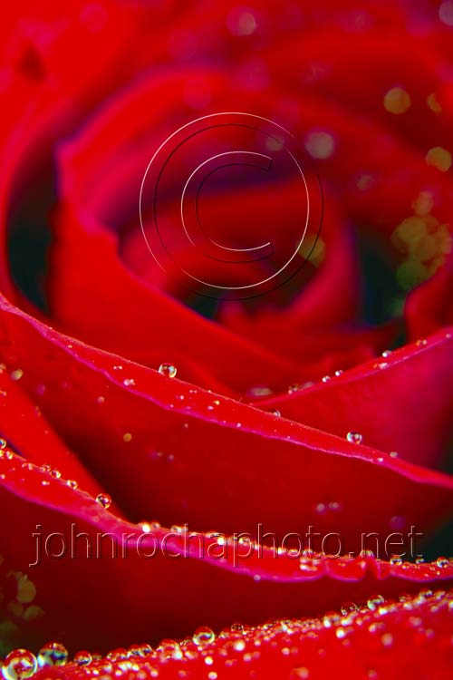 Red Rose Detail with Water Drops