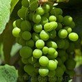 Bunch of Grapes Thassos