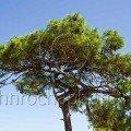 Pine Tree Thassos