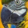 Blue Green and Yellow Macaw photo by john rocha