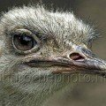 Ostrich Portrait wildlife