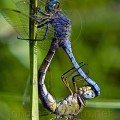 Two Dragonflies in Thassos wildlife