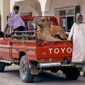 Pickup Camel with Boys in Ibra