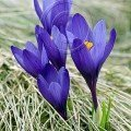 Crocuses blooming on Mount Vitosha stockphoto by John Rocha