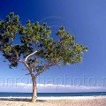 Tree on the Al Bustan Beach Oman