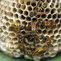 Social Wasps Building a Nest stockphoto by John Rocha