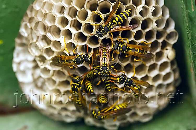 Social Wasps Building a Nest stockphoto by John Rocha