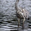 Grey Heron by the Lake wildlife